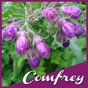 Botanical Bliss Herb of the Month Comfrey